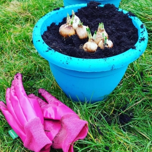 Planting #daffodils in the drizzle #allotment #gardening #spring #sunday